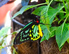 green birdwing butterfly