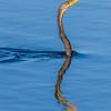 Anhinga (a.k.a. Snake Bird)