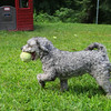 Pepper a rescued Schnauzer poodle from fitchburg has fun at the Pink Poodle in Leominster on Friday.  SENTINEL & ENTERPRISE/JOHN LOVE