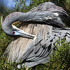 And so have the tri-colored herons (aka Louisiana heron)