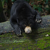 "Bornean sun bears are great climbers, even if this lady is having a bit of trouble.<br /> <br /> All print proceeds go to the BSBCC, who rescue and care for these sun bears. <br />  <a href=""http://www.bsbcc.org.my"">http://www.bsbcc.org.my</a>"