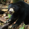 "Little bornean sun bears vary in size but are smaller (and maybe cuter) than other sun bears.<br /> <br /> All print proceeds go to the BSBCC, who rescue and care for these sun bears. <br />  <a href=""http://www.bsbcc.org.my"">http://www.bsbcc.org.my</a>"