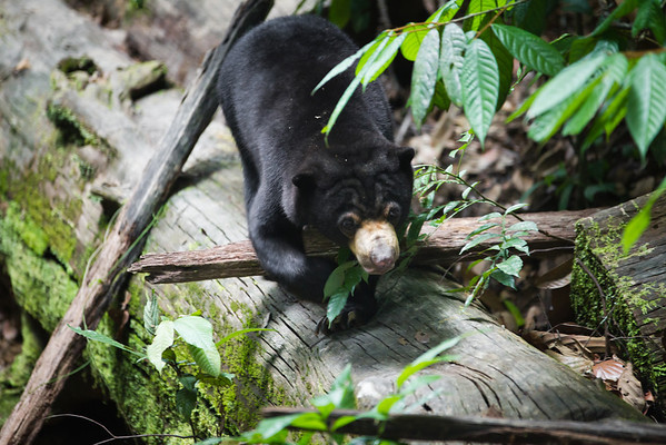 """Exploring the forest habitat is a full time job for these sun bears since their rescue.<br /> <br /> All print proceeds go to the BSBCC, who rescue and care for these sun bears. <br />  <a href=""""http://www.bsbcc.org.my"""">http://www.bsbcc.org.my</a>"""