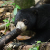 "Little bornean sun bears, a sub-species, are smaller than their vanilla counterparts, but just as gorgeous.<br /> <br /> All print proceeds go to the BSBCC, who rescue and care for these sun bears. <br />  <a href=""http://www.bsbcc.org.my"">http://www.bsbcc.org.my</a>"