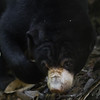 """Shh... quiet. Hunting for watermelon slices.<br /> <br /> All print proceeds go to the BSBCC, who rescue and care for these sun bears. <br />  <a href=""""http://www.bsbcc.org.my"""">http://www.bsbcc.org.my</a>"""