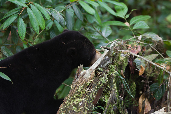 """The BSBCC forest habitats are full of interesting places to explore.<br /> <br /> All print proceeds go to the BSBCC, who rescue and care for these sun bears. <br />  <a href=""""http://www.bsbcc.org.my"""">http://www.bsbcc.org.my</a>"""
