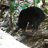 "Scratch, bite, snuffle, forage: a day in the life of a sun bear.<br /> <br /> All print proceeds go to the BSBCC, who rescue and care for these sun bears. <br />  <a href=""http://www.bsbcc.org.my"">http://www.bsbcc.org.my</a>"