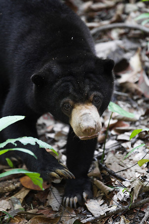 """All print proceeds go to the BSBCC, who rescue and care for these sun bears. <br />  <a href=""""http://www.bsbcc.org.my"""">http://www.bsbcc.org.my</a>"""