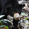 "All print proceeds go to the BSBCC, who rescue and care for these sun bears. <br />  <a href=""http://www.bsbcc.org.my"">http://www.bsbcc.org.my</a>"