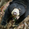 "Inquisitive, eager to have her photo taken, or just wanting food?<br /> <br /> All print proceeds go to the BSBCC, who rescue and care for these sun bears. <br />  <a href=""http://www.bsbcc.org.my"">http://www.bsbcc.org.my</a>"
