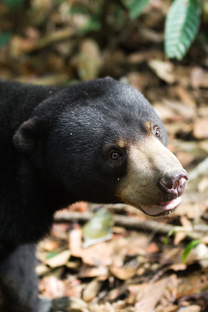 """A big smile in the afternoon sun.<br /> <br /> All print proceeds go to the BSBCC, who rescue and care for these sun bears. <br />  <a href=""""http://www.bsbcc.org.my"""">http://www.bsbcc.org.my</a>"""