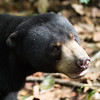 "A big smile in the afternoon sun.<br /> <br /> All print proceeds go to the BSBCC, who rescue and care for these sun bears. <br />  <a href=""http://www.bsbcc.org.my"">http://www.bsbcc.org.my</a>"