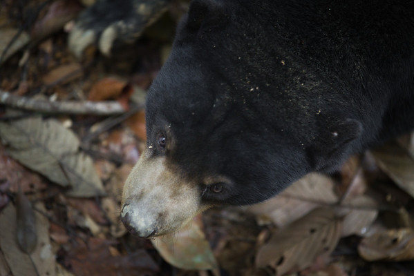 """Bear's eye view.<br /> <br /> All print proceeds go to the BSBCC, who rescue and care for these sun bears. <br />  <a href=""""http://www.bsbcc.org.my"""">http://www.bsbcc.org.my</a>"""