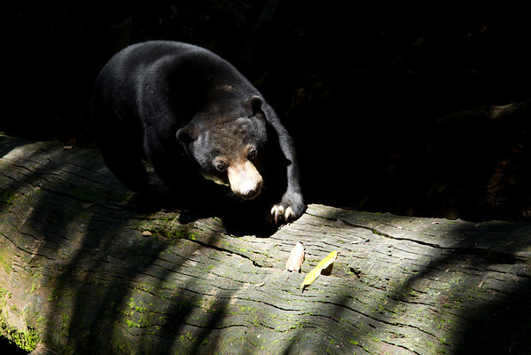 "The bears love to clamber on the huge fallen ironwood trees in their forest habitat.<br /> <br /> All print proceeds go to the BSBCC, who rescue and care for these sun bears. <br />  <a href=""http://www.bsbcc.org.my"">http://www.bsbcc.org.my</a>"