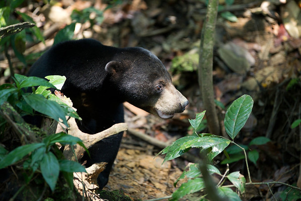 """Although quite active bears, the midday sun is a bit too much even for these gals, who hide in the shade until afternoon.<br /> <br /> All print proceeds go to the BSBCC, who rescue and care for these sun bears. <br />  <a href=""""http://www.bsbcc.org.my"""">http://www.bsbcc.org.my</a>"""