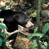 "Although quite active bears, the midday sun is a bit too much even for these gals, who hide in the shade until afternoon.<br /> <br /> All print proceeds go to the BSBCC, who rescue and care for these sun bears. <br />  <a href=""http://www.bsbcc.org.my"">http://www.bsbcc.org.my</a>"
