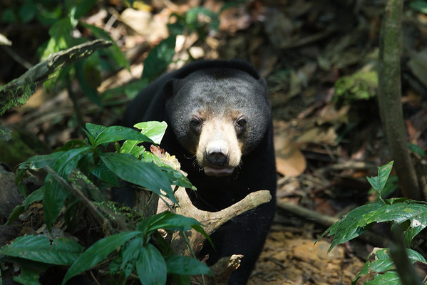 "Lawa, the beautiful bornean sun bear at the Bornean Sun Bear Conservation Centre in Sandakan, Malaysia.<br /> <br /> All print proceeds go to the BSBCC, who look after Lawa. <br />  <a href=""http://www.bsbcc.org.my"">http://www.bsbcc.org.my</a>"