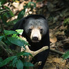 The Sun Bears of Borneo :