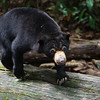 "Big claws on small bears, they can climb vertically just as well as they can horizontally.<br /> <br /> All print proceeds go to the BSBCC, who rescue and care for these sun bears. <br />  <a href=""http://www.bsbcc.org.my"">http://www.bsbcc.org.my</a>"