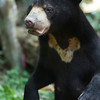 "Displaying her sun-shaped crest at the Bornean Sun Bear Conservation Centre.<br /> <br /> All print proceeds go to the BSBCC, who rescue and care for these sun bears. <br />  <a href=""http://www.bsbcc.org.my"">http://www.bsbcc.org.my</a>"