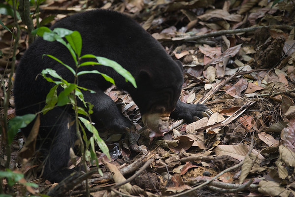 "A lovely little sun bear foraging the remains of her afternoon enrichment.<br /> <br /> All print proceeds go to the BSBCC, who rescue and care for these sun bears. <br />  <a href=""http://www.bsbcc.org.my"">http://www.bsbcc.org.my</a>"