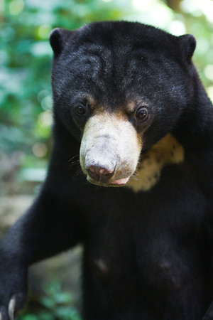 """These bears spend their days rummaging around the forest floor, thankful for being rescued.<br /> <br /> All print proceeds go to the BSBCC, who rescue and care for these sun bears. <br />  <a href=""""http://www.bsbcc.org.my"""">http://www.bsbcc.org.my</a>"""
