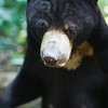 "These bears spend their days rummaging around the forest floor, thankful for being rescued.<br /> <br /> All print proceeds go to the BSBCC, who rescue and care for these sun bears. <br />  <a href=""http://www.bsbcc.org.my"">http://www.bsbcc.org.my</a>"