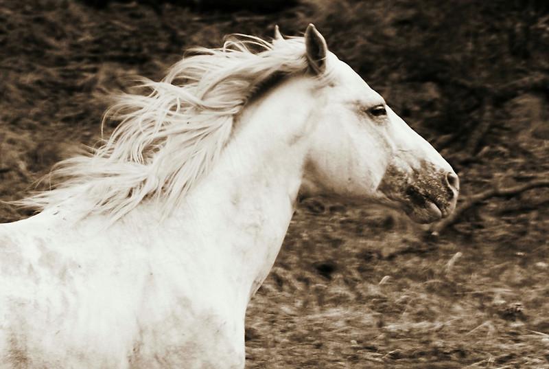 Apache White Stallion<br /> <br /> Rachael Waller Photography