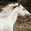 Apache White Stallion<br /> <br /> Rachael Waller Photography