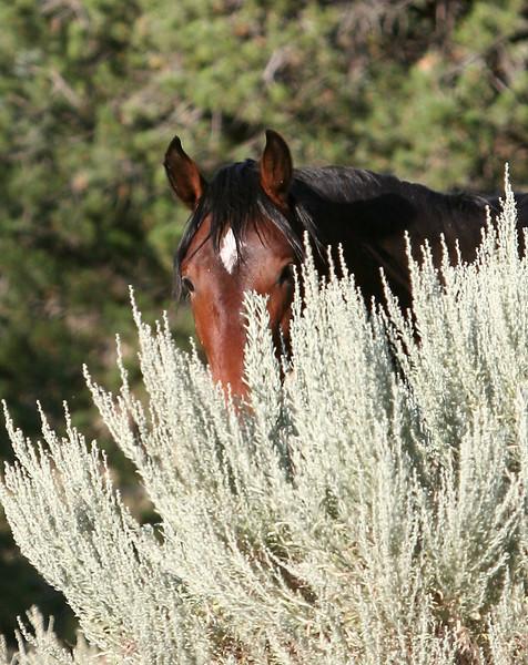 Chama peeking over the sage.<br /> <br /> Jicarilla Wild horse