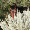 Chama peeking over the sage.<br /> <br /> Jicarilla Wild horse