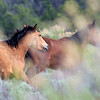 """Sage Brush Boogie""<br /> Left then right and high in the air they bolted past us, those wonderful brush poppin wild horses. :)<br /> <br /> Rachael Waller Photography<br /> Wild Horses 2008"