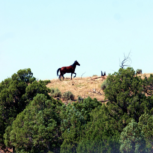 A banished stallion blazes his own trail.<br /> <br /> Jicarilla Wild Horse