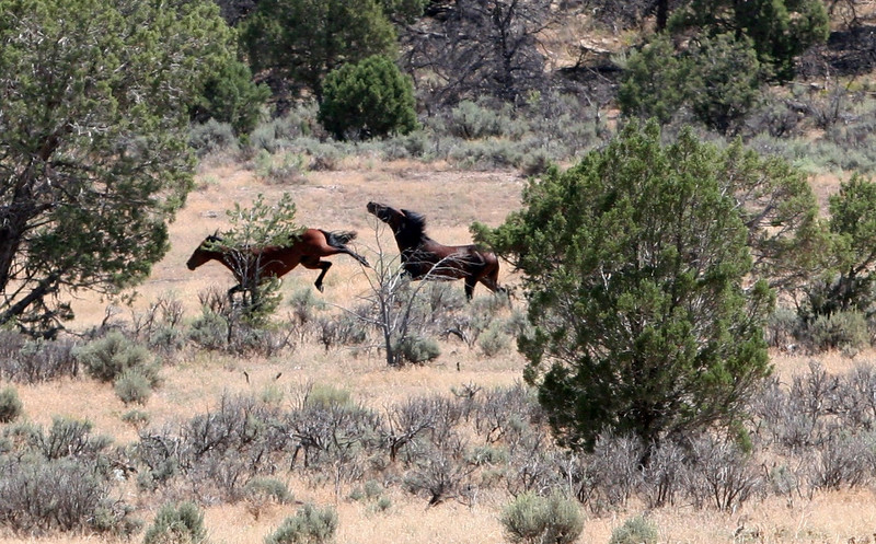 Two Stallions fight in the distance  Jicarilla Wild horses