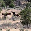 Two Stallions fight in the distance<br /> <br /> Jicarilla Wild horses
