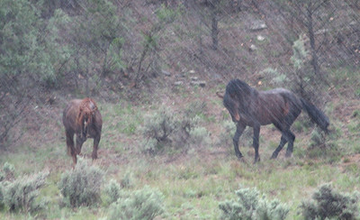 Sandia & Brazos in the sleet The good ol days of being wild and free... Brazos was rounded up in 09. Sandia still runs free, for now.  Rachael Waller Photography 2008 Wild horses
