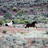 Running for Cover<br /> The spooky crew from a distance runs from a predator.<br /> Jicarilla Wild Horses