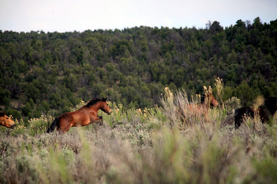 """Brush Poppin"" Listen? Can you hear them? The  sound of thunderous hooves and dust was the only sign I had, I crept down and up and over the small dirt hill... WHOOOSH ! There they were brush poppin in the tall yarrow and sage as they passed me the perfume of the wild swept through my hair and then they were gone.  Rachael Waller Photography (One more on the next shot to the right)"