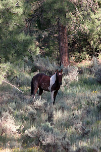 Sweet little filly, named Cheyenne after my daughter,from the Bancos Band Jicarilla Wild horse