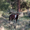 Sweet little filly, named Cheyenne after my daughter,from the Bancos Band<br /> Jicarilla Wild horse