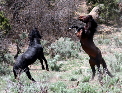 Malapais & Brazos Tango at high noon  Rachael Waller Photography 2008 Wild Horses Canvas