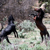 Malapais & Brazos Tango at high noon<br /> <br /> Rachael Waller Photography 2008<br /> Wild Horses<br /> Canvas