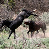 High Noon III<br /> (Malapais & Brazos..when they were free)<br /> <br /> <br /> Rachael Waller Photography 2008 Wild horses