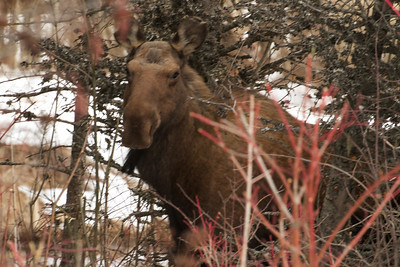 The Whistler Moose