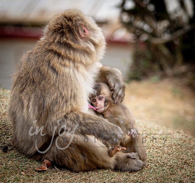 Monkeys_of_Arashimayama_2O1A0238