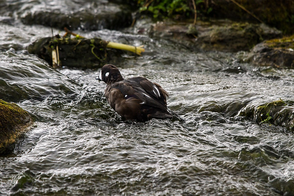 Diving duck