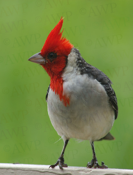 Northern Crested Cardinal
