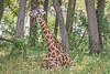Giraffe Baby 002