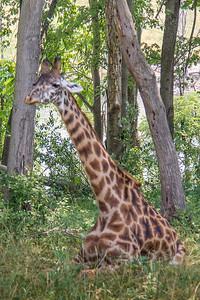 Giraffe Baby 001