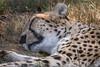 Cheetah 001